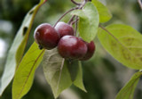 Crab Apple Malus 'Toringo Scarlett' Branched Tree 4-5ft Tall in 6L Pot, Lovely Flowers, Tasty Fruit