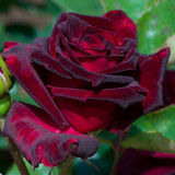 'Black Baccara' Hybrid Tea Rose Bush, Stunning Deep Maroon Velvety Flowers