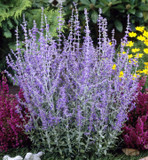 3 Perovskia 'Blue Spire' / Russian Sage In 9cm Pot, Violet-Blue Flowers