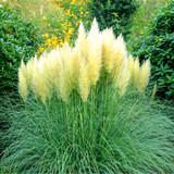 Cortaderia selloana 'Pumila'/ Pampas Grass 30-40cm in 9cm Pot, Silky Creamy-white Plumes