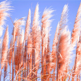 Cortaderia selloana 'Rosea'/ Pampas Grass 1-2ft Tall in 1L Pot, Silky Pink Plumes