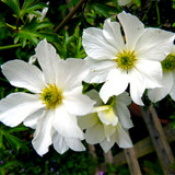 Clematis 'Early Sensation' In 2L Pot, Evergreen Climber With Stunning White Flowers