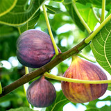 Large Fig Tree Osborne's Prolific in a 5L Pot, Ready to Fruit, Sweet Taste