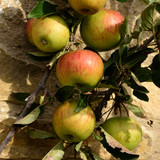 'Ellison's Orange' Apple Tree 4-5 ft,Self-fertile, Ready to fruit,Frost Hardy