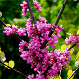 Cercis Canadensis 'Forest Pansy' Redbud Tree, 2-3ft Tall, Pink Blossom