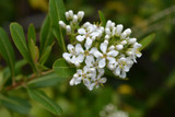 10 Escallonia 'Iveyi' in a 2L Pot, Evergreen Hedging Plant, Beautiful Clusters of White Flowers