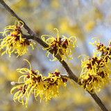 Hamamelis Mollis / Chinese Witch Hazel in 2L Pot, Lovely Winter Flowers