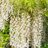 Wisteria f. Alba/ Japanese White Wisteria Alba in 2L Pot, Fragrant Flowers