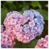 Hydrangea Macrophylla Pink Dream in 2L Pot, Beautiful Pink Blue Flowers