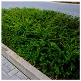 3 Lonicera Nitida Hedging 40-60cm Tall in 2L Pots Box Honeysuckle Tree Plants