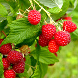 3 'Autumn Bliss' Red Raspberry Canes / Rubus Idaeus 'Autumn Bliss', Big & Tasty in 12 cm pot