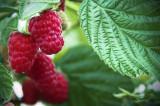 1 'Malling Promise' Red Raspberry Bush / Cane, Rubus Idaeus 'Malling Promise' in 12cm Pot