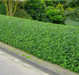 50 Wild Privet Hedging Ligustrum Vulgare Plants Hedge 40-60cm,Quick Growing Evergreen