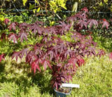 Japanese Purple Maple Bloodgood Tree / Acer Palmatum Bloodgood Plant in 2L Pot