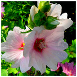 Lavatera Clementii Barnsley Baby / Tree Mallow, In 2L Pot, Stunning Flowers