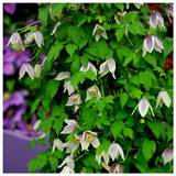 Clematis Koreana 'Blue Eclipse' In 2L Pot, With Stunning Bell-Shaped Flowers