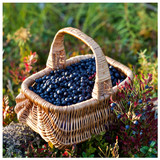 1 Vaccinium myrtillus / European Blueberry Plant in 9cm Pot, Very Tasty Fruit