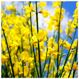 3 Cytisus Praecox 'Allgold' / Yellow Broom Plants in 2L Pots, Spectacular Flowers