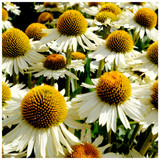 Echinacea Purpurea Happy Star / White Coneflower In 2L Pot, Stunning Large Flowers