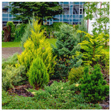 3 x MIXED COMPACT EVERGREEN CONIFERS, QUALITY ORNAMENTAL PLANTS IN POTS