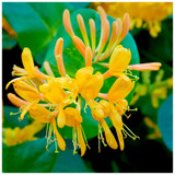 Lonicera tellmanniana / Tellmann's honeysuckle in Large 3L Pot, Orange / Yellow Flowers