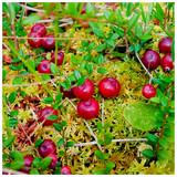Cranberry Pilgrim / Vaccinium macrocarpon in 2L Pot, Edible Red Berries