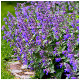 Nepeta 'Six Hills Giant' / Catmint In 9cm Pot, Attractive Aromatic Foliage