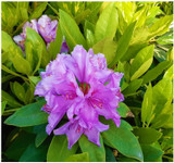 Rhododendron 'Goldflimmer' in 9cm Pot, Stunning Flowers & Variegated Leaves