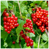 Laxton's Number One Redcurrant in 2-3ft Tall in 3L Pot, Heavy Cropper