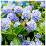 Californian lilac / Ceanothus 'Victoria' In 9cm Pot, Bright Blue Flowers, Very Hardy
