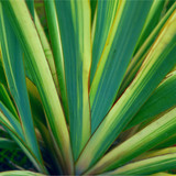 Phormium Tricolor / New Zealand Flax Lily in 2lt Pot, Stunning Evergreen Leaves