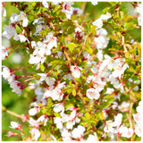 Prunus incisa 'Kojo-no-mai' 4-5ft Tall Tree / Compact Fuji Flowering Cherry