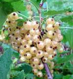 1 Witte Hollander White Currant / Ribes Rubrum 'Witte Hollander', In 9cm Pot