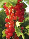 3 'Jonkheer van tets' Redcurrant / Ribes Rubrum Jonkheer van Tets' in 9cm Pots