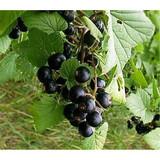 5 Titania Blackcurrant Bush Multistemmed Plant In 9cm Pot, Tasty Black Fruit