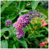 Buddleia 'Flower Power' in 2L Pot Buddleja Butterfly Bush