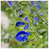 Salvia 'Blue Note' / Sage Royal Bumble in 2L Pot, Stunning Blue Flowers