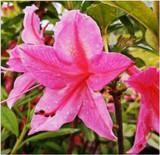 Deciduous Azalea Mollis, Jolie Madame, 30-40cm tall in 5L Pot,With Pink Flowers