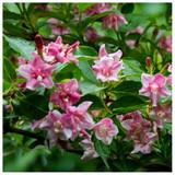 Weigela Rosea Plant In a 2L Pot, Funnel Shaped Pink Flowers