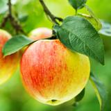 Dwarf Patio Jonagold Apple Tree In 5L Pot Ready to Fruit Juicy, Sweet Tasty Apples