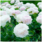 Paeonia lactiflora 'Shirley Temple' Peony in 1-2L Pot, Stunning White-Pink Flowers