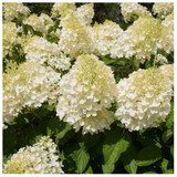 Hydrangea Paniculata 'Silver Dollar' in 2L Pot, Produces Lovely Creamy White Flowers.