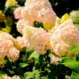Hydrangea paniculata 'Pink Lady' In 2L Pot With Stunning Cone shaped Flowers