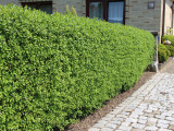 3 Wild Privet Hedging Ligustrum Vulgare Plants Hedge 40-60cm,Quick Growing Evergreen