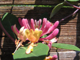 Honeysuckle Lonicera periclymenum 'Serotina' in a 9cm Pot