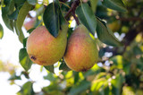 Clapp's Favourite Pear Tree 4-5ft Tall in 5L Pot, Juicy Dessert Pear With Sweet Flavour