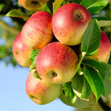 'Benoni' Apple Tree 4-5ft in 6L Pot, Delicious Dessert Apple, Ready to fruit,Frost Hardy