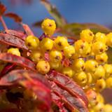 Mountain Ash 'Sunshine' / Sorbus 'Sunshine' Rowan Tree 4ft Tall in 5L Pot, Yellow Berries