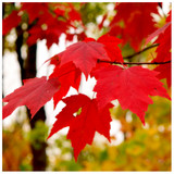 Acer Rubrum Summer Red Maple Tree In 9cm Pot, Stunning Autumn Colours