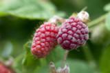 Loganberry / Rubus × loganobaccus in 2L Pot Sweet & Large Fruit